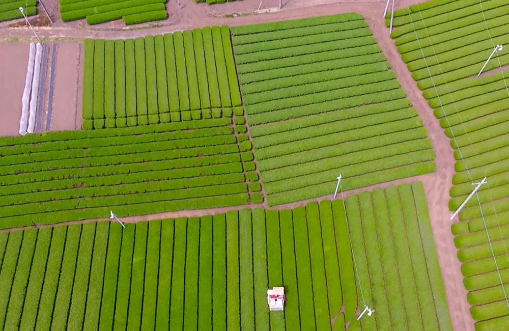 【ドローン活用事例1】狭山茶主産地の入間市にて茶摘みを撮影